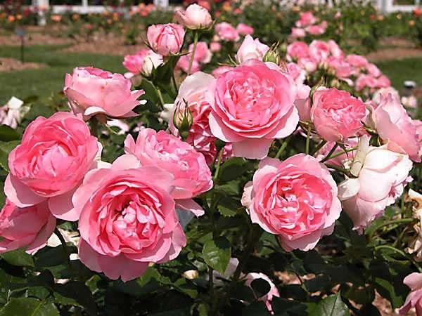 Mơ thấy hoa hồng là điềm báo gì