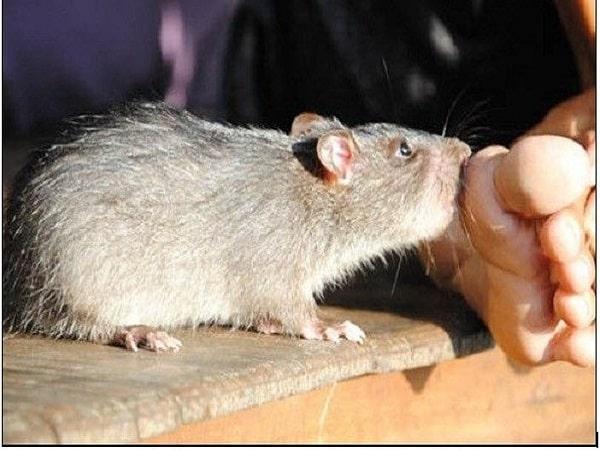 Nằm mơ thấy chuột cắn đánh con gì và ý nghĩa tốt hay xấu?