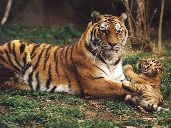 Mơ thấy hổ đánh con gì và ý nghĩa nằm mơ thấy hổ là gì?