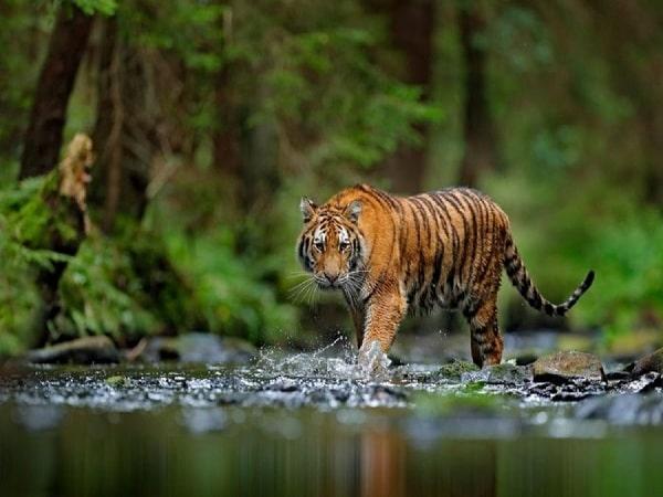 Mơ thấy hổ đuổi đánh con gì và ý nghĩa là gì?